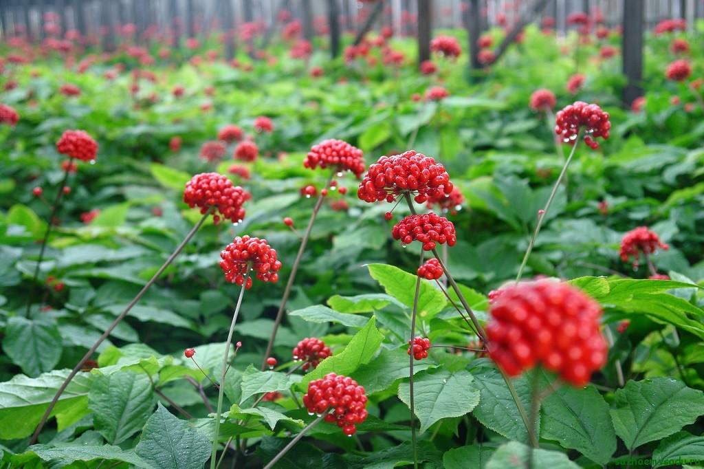 Адаптогены: растительные помощники организма