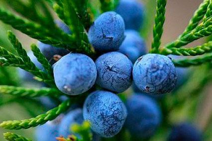 Экстракт плодов можжевельника