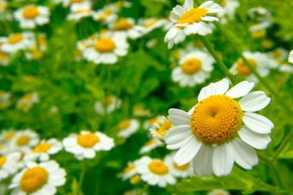 Экстракт цветков ромашки аптечной